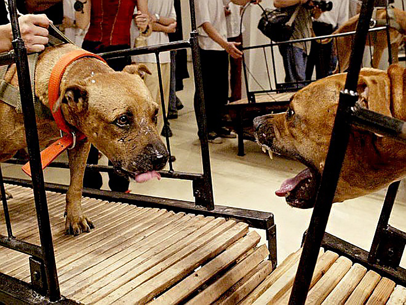 Пэн Ю и Сан Юань. «Собаки, которые не могут коснуться друг друга», 2003