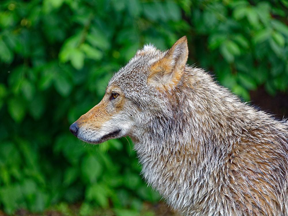 Волк, Республика Алтай