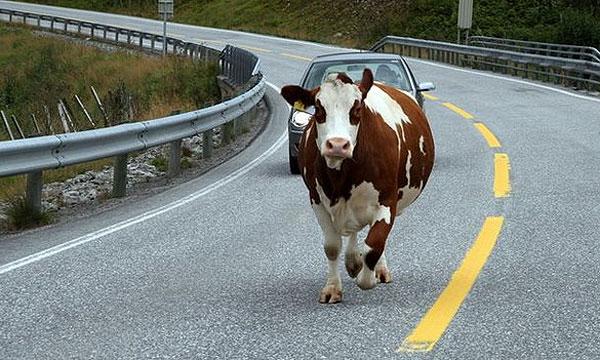 Животные на дорогах разоряют водителей