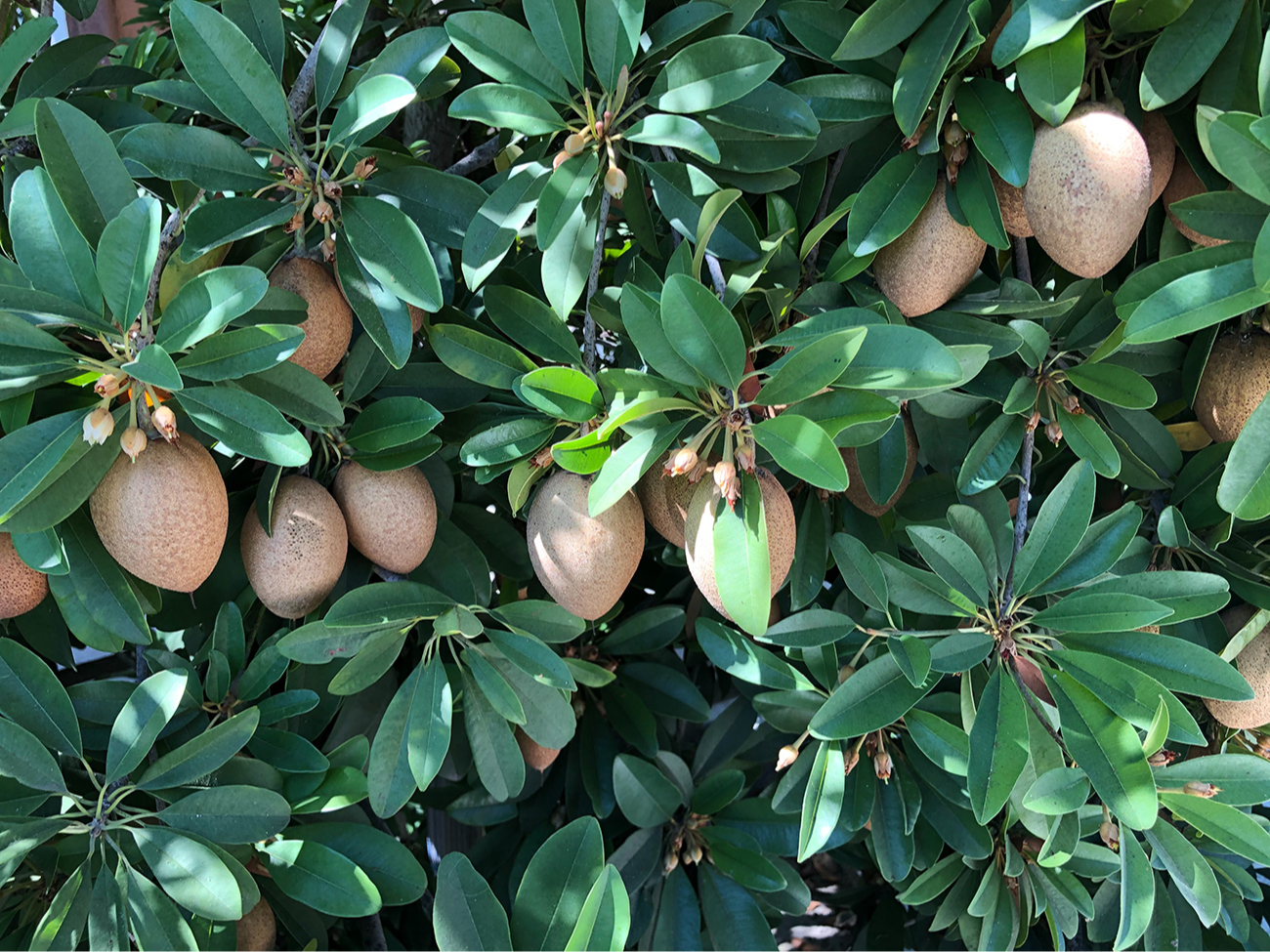 По легенде, Шива подарил дерево манго своей супруге