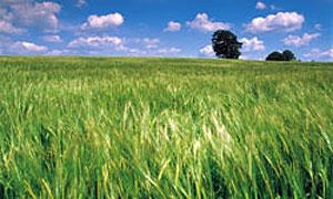 Производство биоэтанола грозит экологической катастрофой