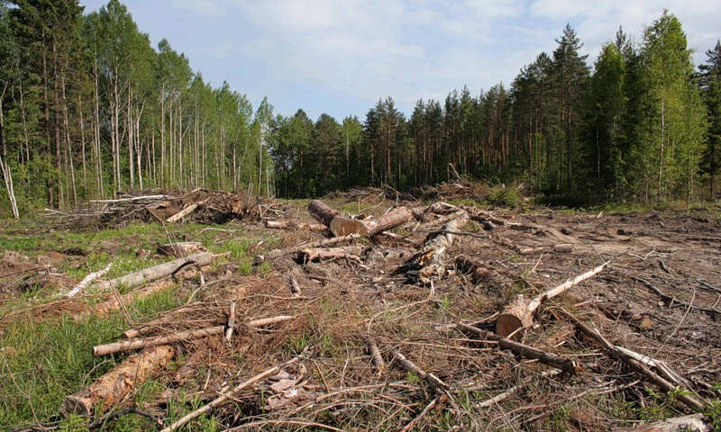 Рубить деревья для прокладки трассы в Химках больше не будут