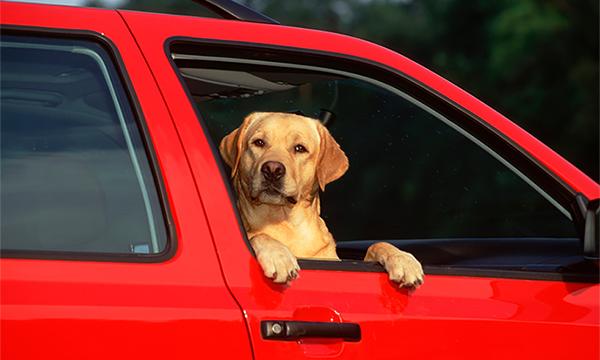 Депутаты предложили запретить перевозку животных в автомобиле без переноски