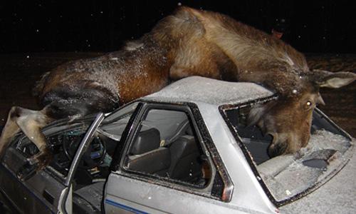 За сутки в России произошло два крупных ДТП с участием лосей