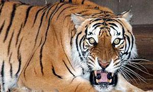 В Приморье на автомобилистов охотится тигрица