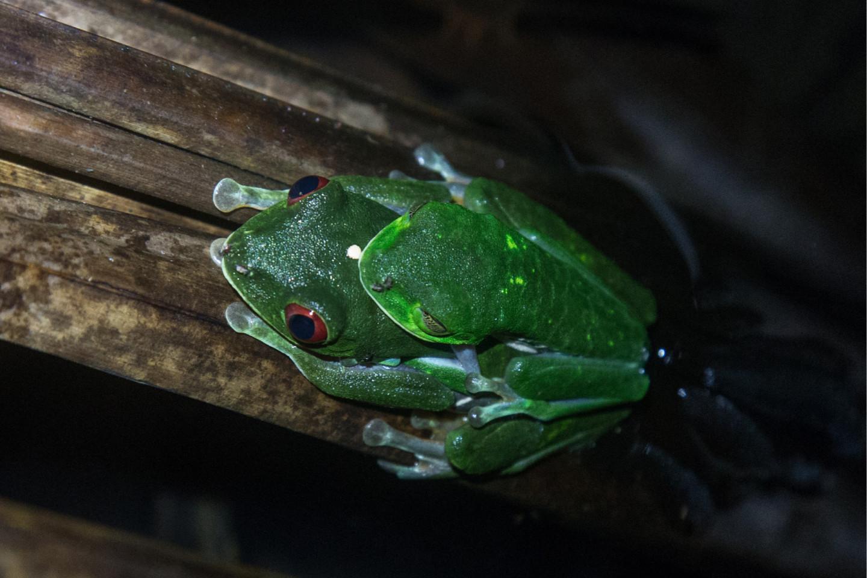 Красноглазые квакши (Agalychnis callidryas)— ночные древесные животные, обладатели громких голосов и охотники за летающими насекомыми. Уничтожение местообитаний приводит к снижению численности квакш. Залив Дрейка, Коста Рика.