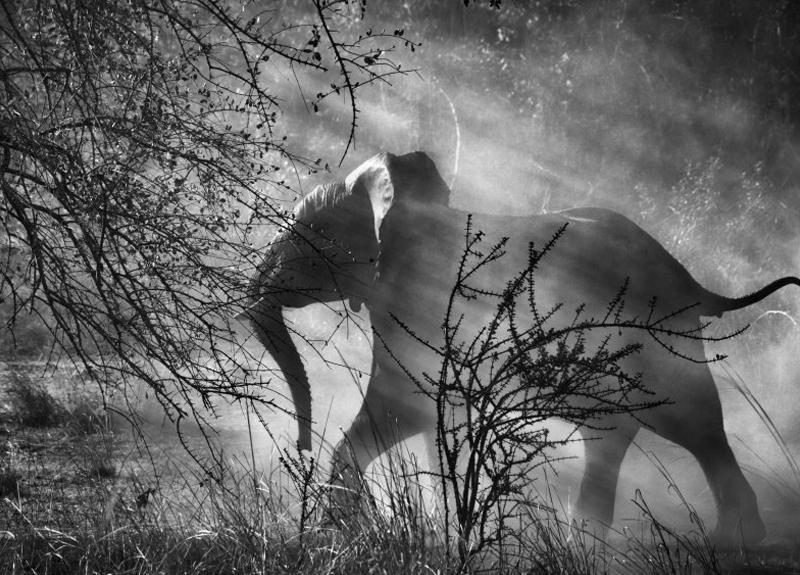 В Замбии на слонов охотятся браконьеры, поэтому они прячутся от людей и автомобилей. Заметив приближающийся автомобиль, они стараются как можно скорее укрыться в кустарнике. Национальный Парк Кафуэ, Замбия. 2010 г.