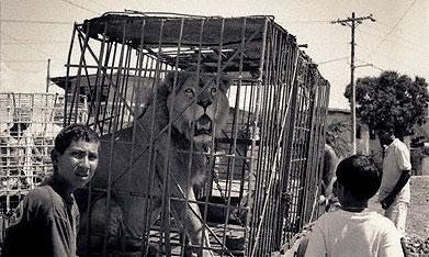 В Бразилии на дороге бросили грузовик с 5-ю львами