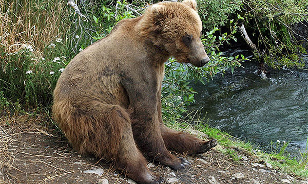 Медведи парализовали движение в Брашове (Румыния)