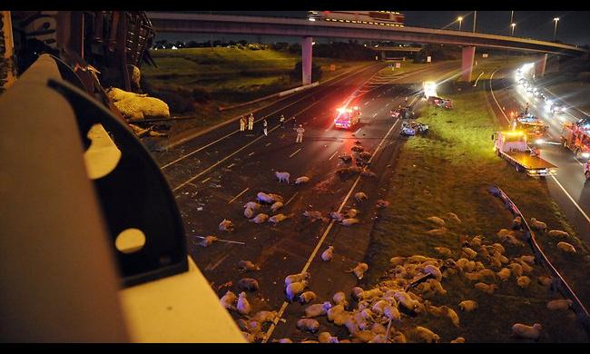 Выпавшие из грузовика овцы спровоцировали пробку на трассе