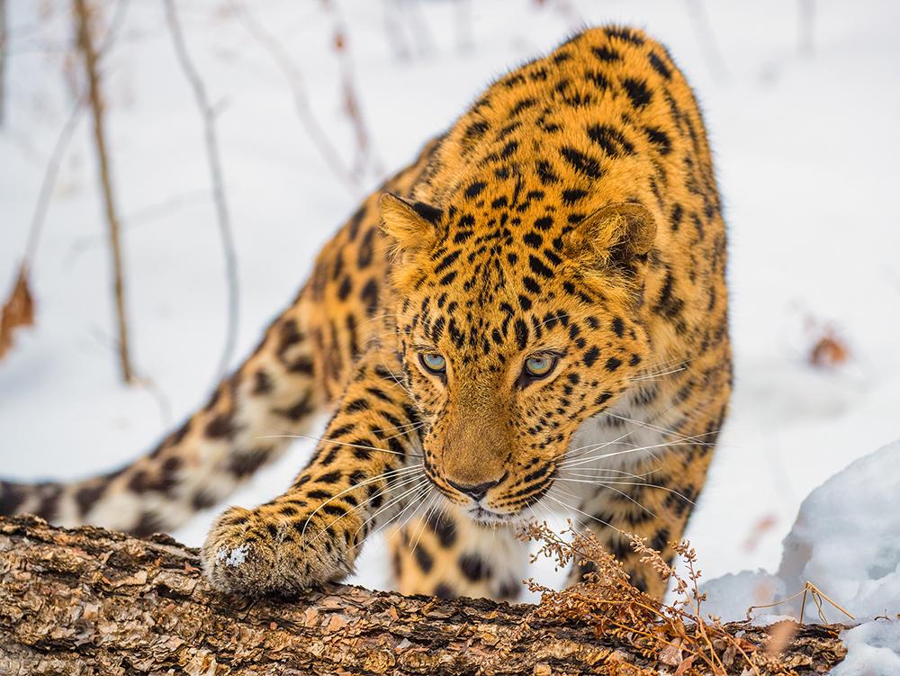 Дальневосточный леопард, Приморский край