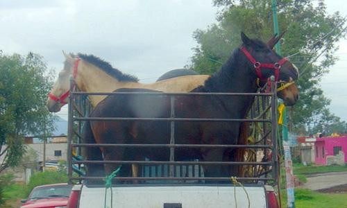 С московского ипподрома угнали грузовик с 10 лошадями