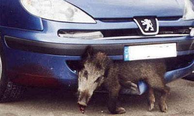 На Урале участились ДТП с дикими животными