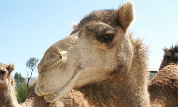 В Израиле верблюд едва не устроил ДТП