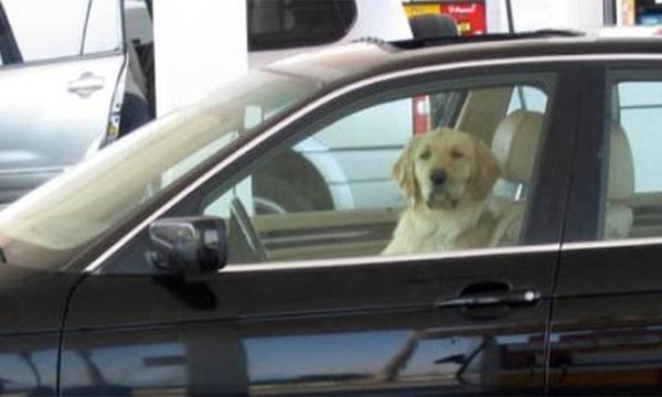 Собака за рулем автомобиля сбила своего хозяина