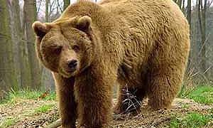 Медведь устроил пикник в кабриолете