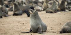 Чтобы как следует посмотреть фауну Намибии, лучше всего ехать из Уолфиш-Бей вдоль побережья Атлантики на север. По всей береговой линии океана обитает, пожалуй, одна из самых больших популяций морских котиков в Африке. Численность ластоногих у атлантического побережья Намибии превышает 2,6 миллиона особей, при том, что людей в Намибии живет около 2,48 миллиона.