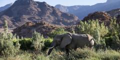 За горными хребтами скрывается еще одно лицо Намибии — саванна. Здесь пейзаж больше всего напоминает типично африканский, знакомый нам с детства по книгам Корнея Ивановича Чуковского. И, быть может, горилл и крокодилов тут нет, однако совершенно точно водятся львы и слоны. Причем, последние не менее, а порой, и более опасны, чем первые.