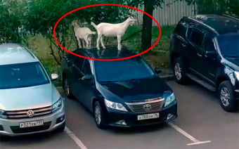Козел на Camry: в Москве животные атаковали припаркованные машины
