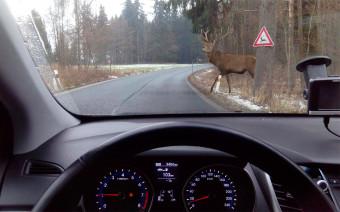 Посмотрите, как дикие животные внезапно выбегают на дороги. Видео