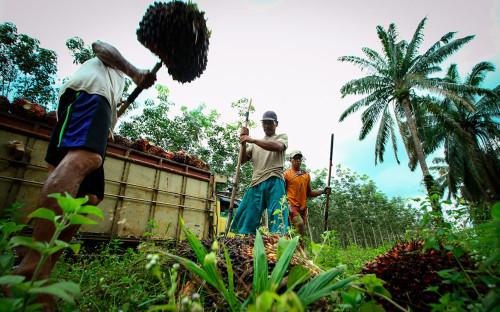 Сбор урожая масличной пальмы для изготовления пальмового масла