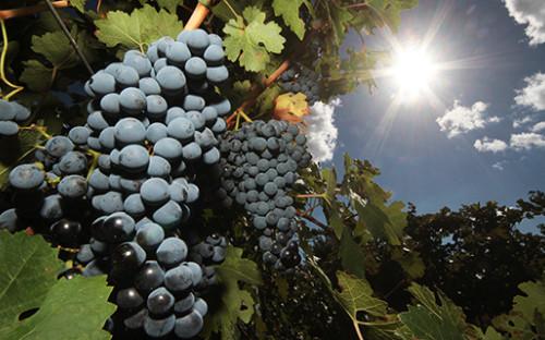 <p>Уборка винограда в Крыму</p>  <p></p>