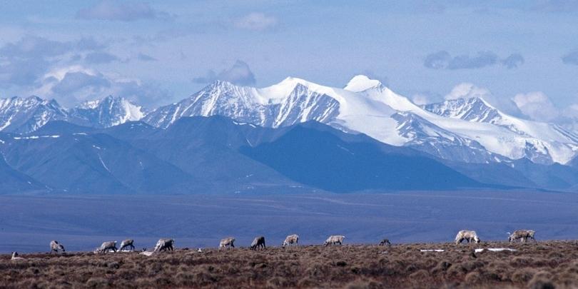 Карибу пасутся на прибрежной равнине Арктического национального заповедника
