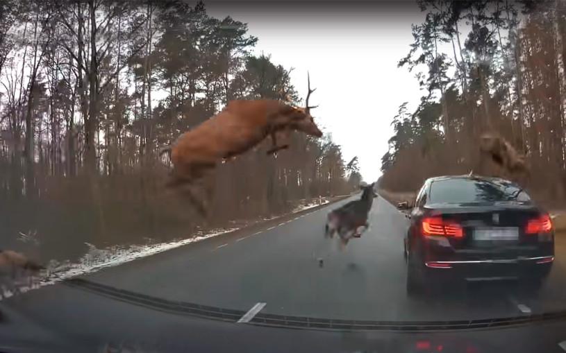 Стадо оленей повредило седан BMW на лесной дороге. Видео
