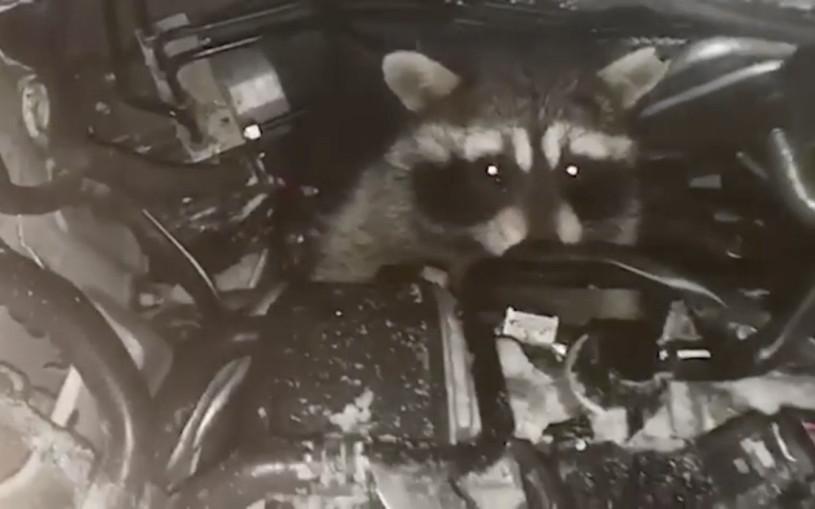 Механик сервиса каршеринга нашел под капотом машины енота