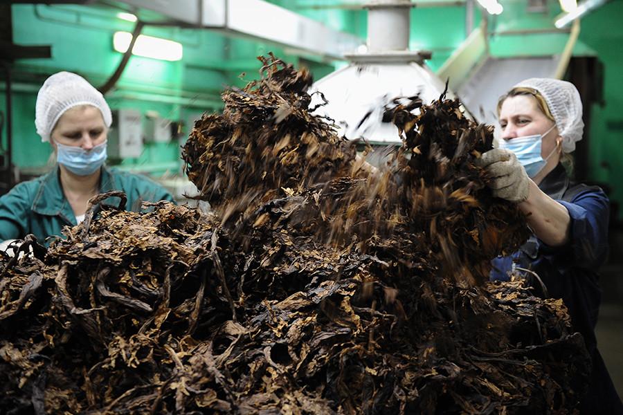 Сотрудники фабрики за столом по расщипке листового табака в цехе Погарской сигаретной фабрики