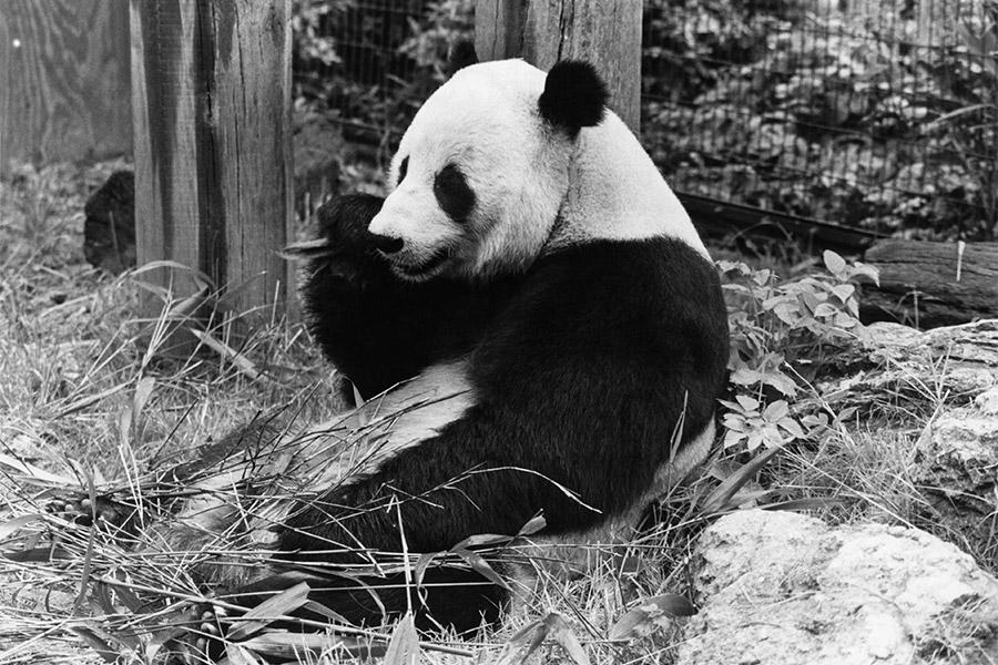Панда Чиа Чиа