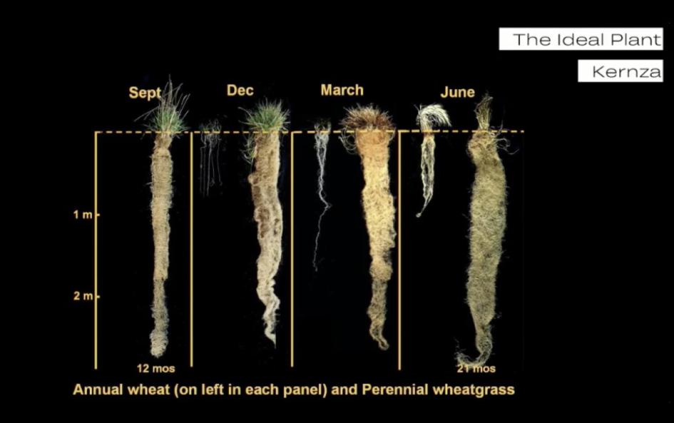 Кернза (в правой) и обычная пшеница (в левой части каждой панели)