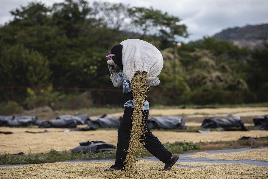 Процесс высушивания собранного кофе в Никарагуа