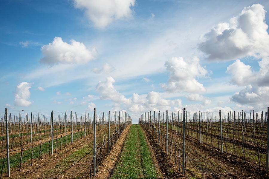 Виноградники вКрыму