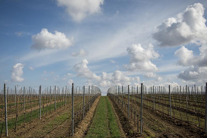Общая площадь виноградников Alma Valley — 160 га