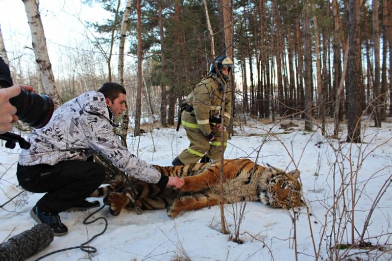 Тигр, обнаруженный в Воронежской области